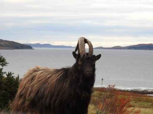 wild goat gairloch drive the professional traveller