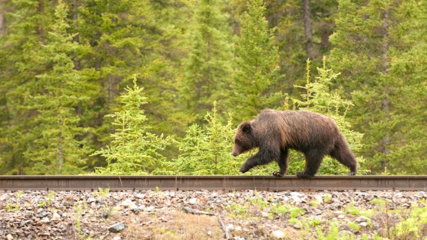 grizzly-bear-rail-tracks.jpg