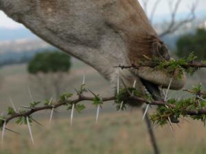 raffie tongue thorns.jpg