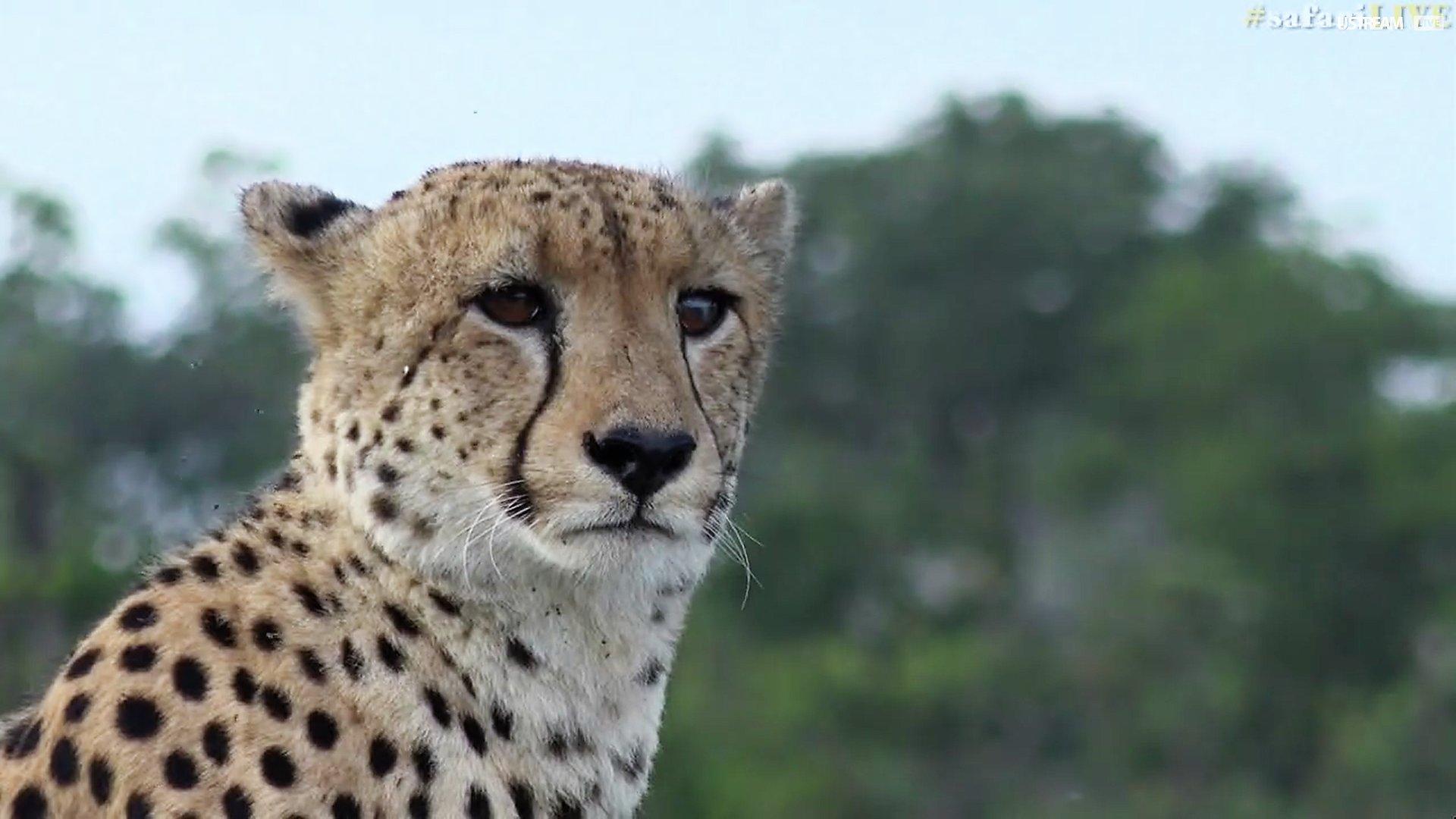 2-15-17 NG tp at maryann944 cheetah bro.jpg