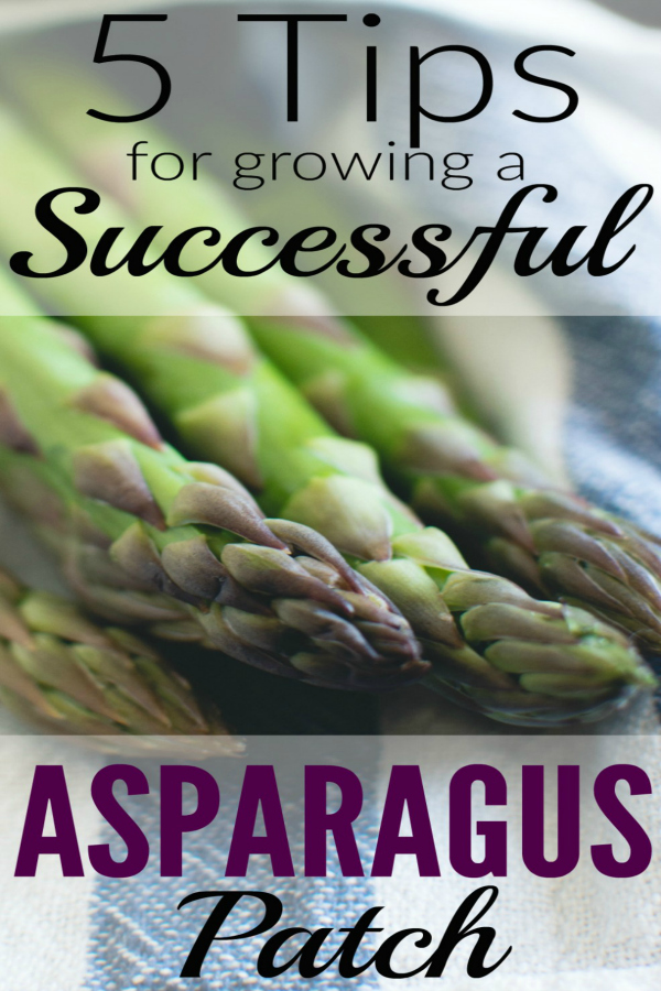 Asparagus - 5 Tips for Growing a Successful Patch!