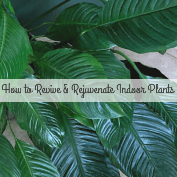 How To Revive and Rejuvenate Indoor Plants #PlantCare #IndoorPlants #Trimming #Pruning #PeaceLily
