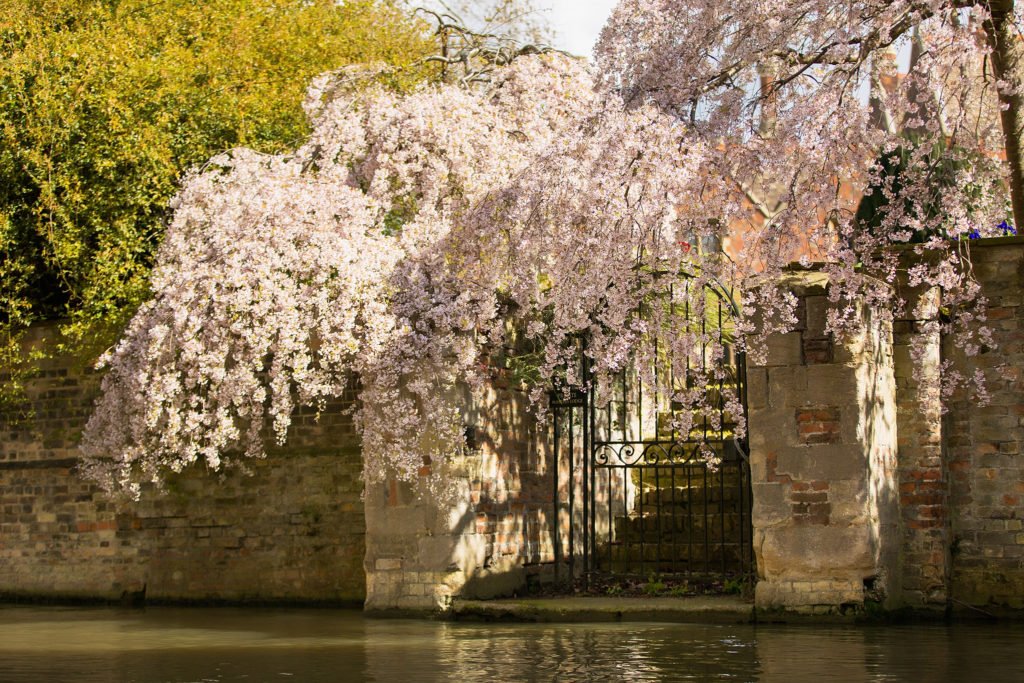 blossom tree in cambridge