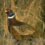 Hunters Can Expect Excellent Colorado Quail Hunting, Signs Of Improvement In Pheasant Population