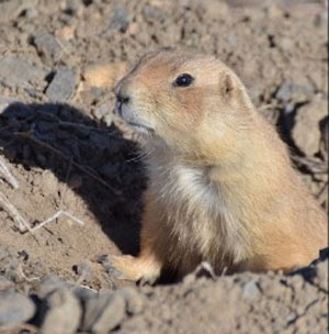 CPW Completes Survey of BlackTailed Prairie Dog Habitat and