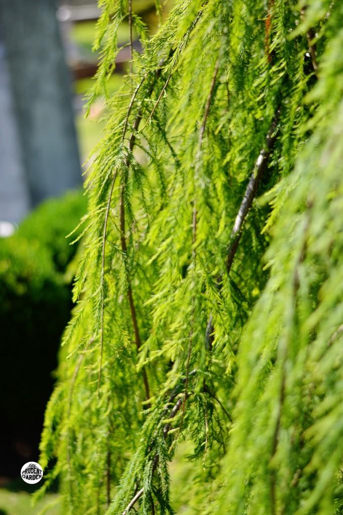 weeping bald cyrpress