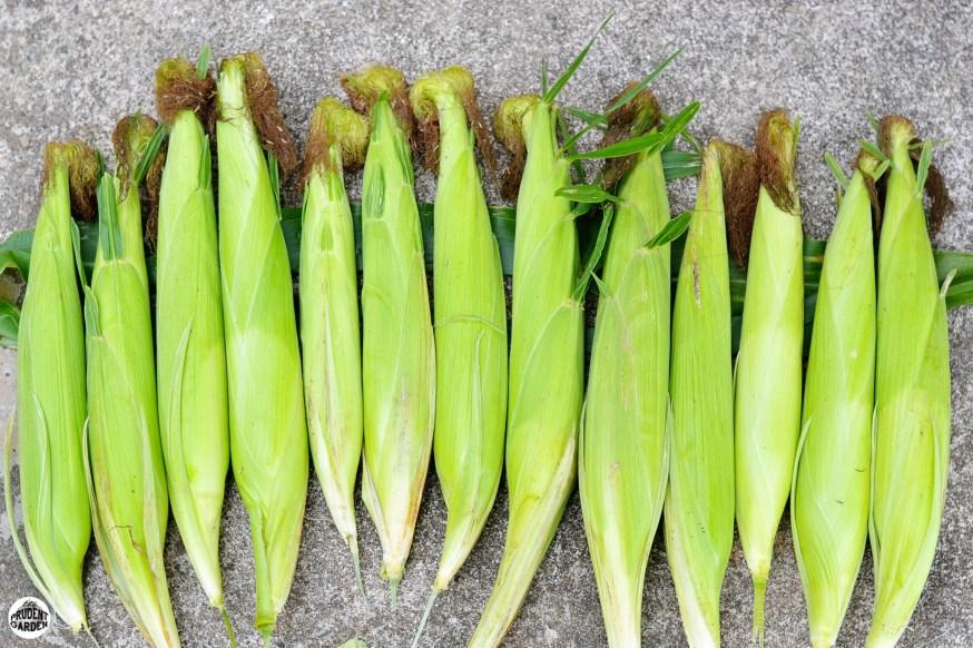 Summer Corn Harvest