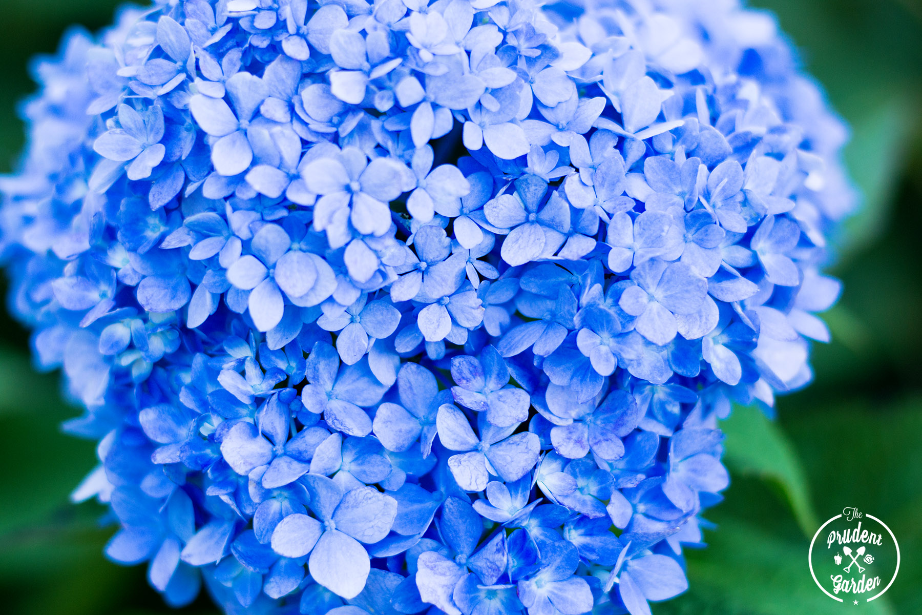 Endless Summer Hydrangea Garden Landscape Feature