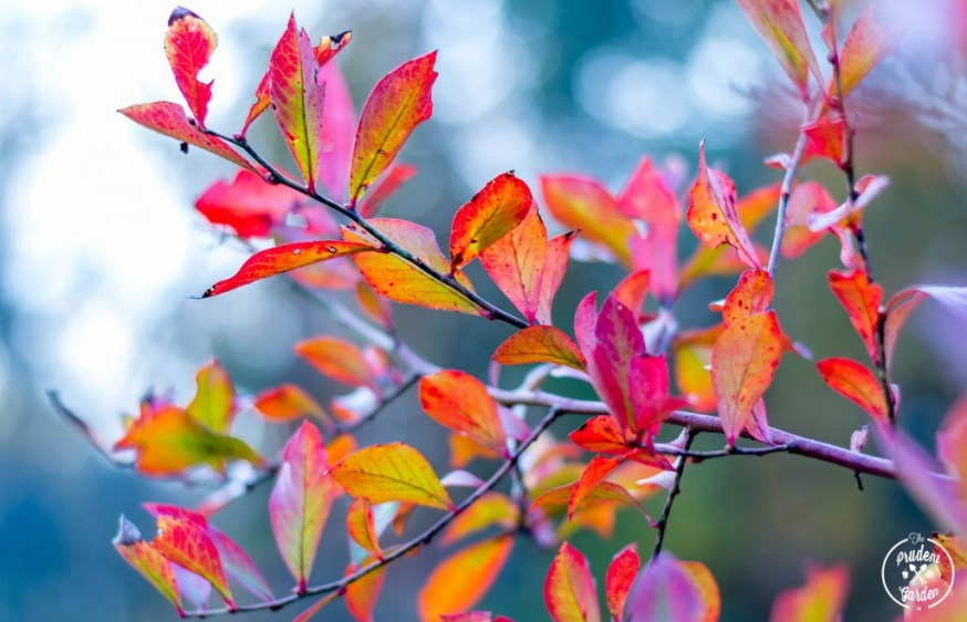 Fall is planting time. Yes it is possible to plant in spring, summer and maybe winter for some of us. But fall is the sweet spot. Here is the reason why.
