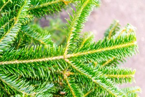Original_Photo_FDebbie_Wolfe_Characteristics_Christmas_Tree_s6x4