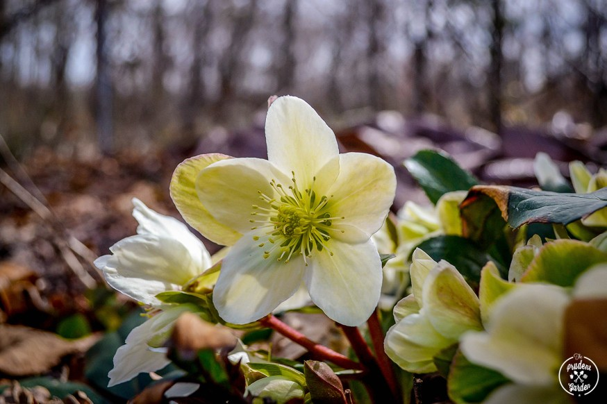 Spring and summer are not the only time of year for pretty blooms.  The Lenten Rose  or Helleborus is a lovely bloom that thrives in the cold.