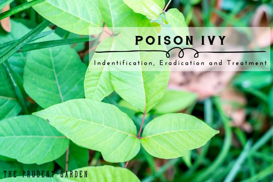Poison Ivy |Identification Eradication and Treatment