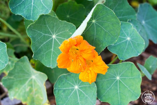 A Field Guide to Nasturtiums