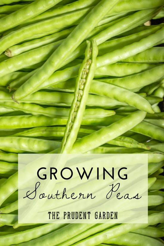 "Southern peas are distinctly different from ""English"" peas. Read this for tips on growing and using this southern staple, and how they benefit your garden."