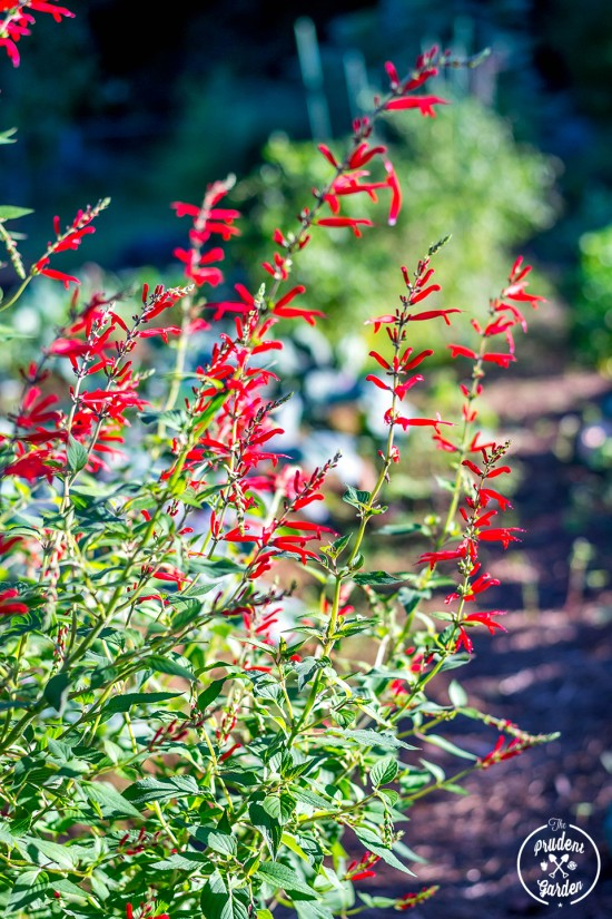 Sage is a easy to grow plant that you should incorporate into you garden. Butterflies and hummingbirds love them and they a flavorful culinary herb.