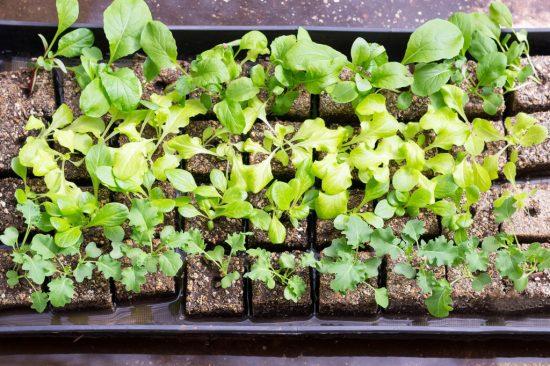 New seedings in a black tray.