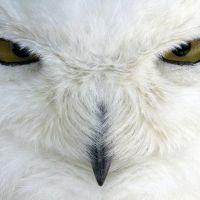 Animal Spirit guides: The Owl