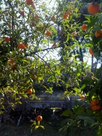 The mandarin and orange orchard in the garden