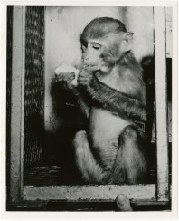 "A monkey (possibly ""Able"") used for pre-manned spaceflight tests eats a treat in her cage, circa 1959."