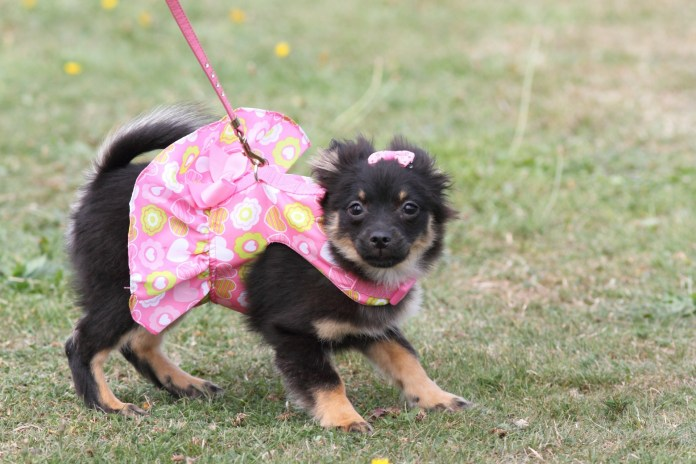 puppy wearing a dress and bow