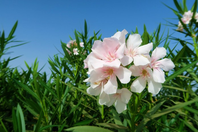 Oleander - Plants That Are Poisonous to Puppies