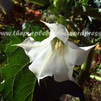 Devil's Weed- Datura, A Witch's Herb