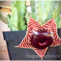 The Carrion Flower- Stapelia