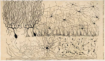 Santiago Ramón y Cajal drawing of a chick cerebellum