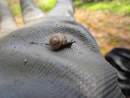Land Snail Under The Mustard Garlic