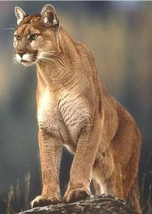 mountain_lion_01