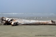 Driftwood and seagulls at Pacific Rim National Park Reserve