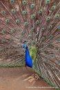 Peacock at Wildlife Safari