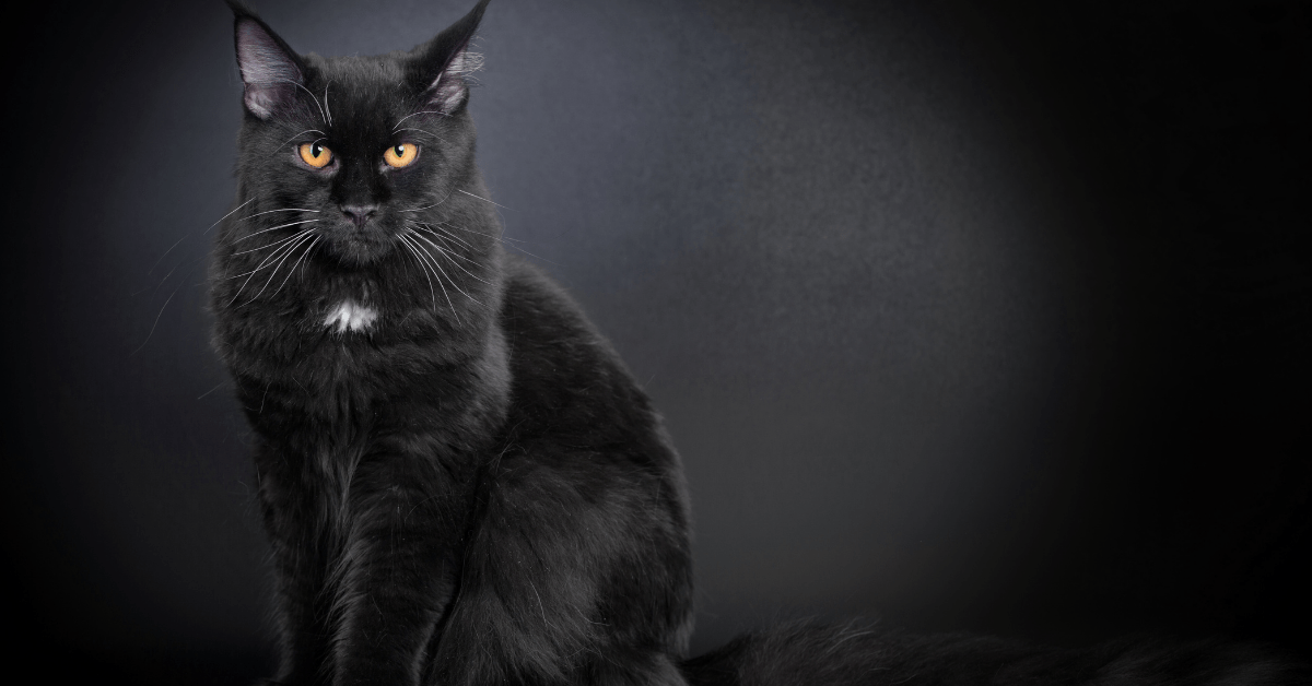 Black Maine Coon Cat 2021 [Why You Need One]
