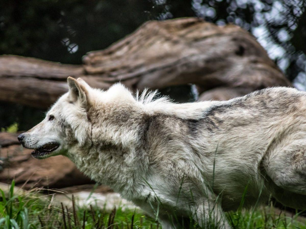 wolf zoo dublin