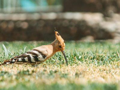 cute upupa epops bird on green lawn in garden on sunny day