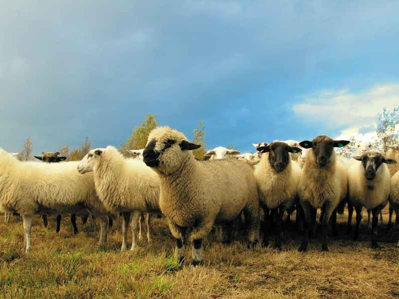 flock of sheep in field under blue sky