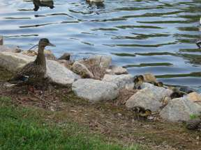 And ducklings!