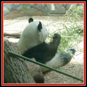 tRR panda eating bamboo