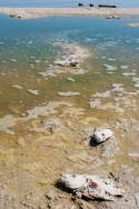 Just a few of hundreds of dead tilapia fish poisoned by the too-salty Salton Sea.