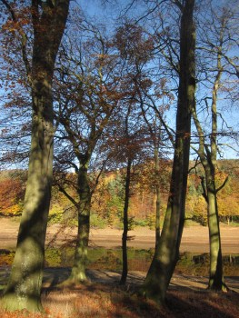A group of beech trees