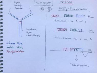 thumbnail of Antikörper