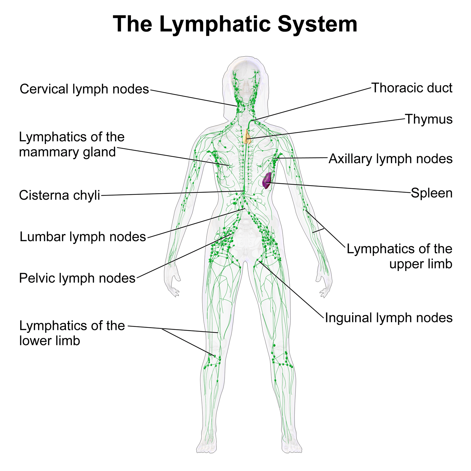 Self Healing The Lymphatic System