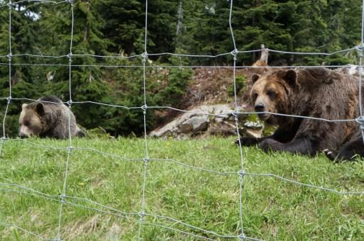 Grouse - Bears
