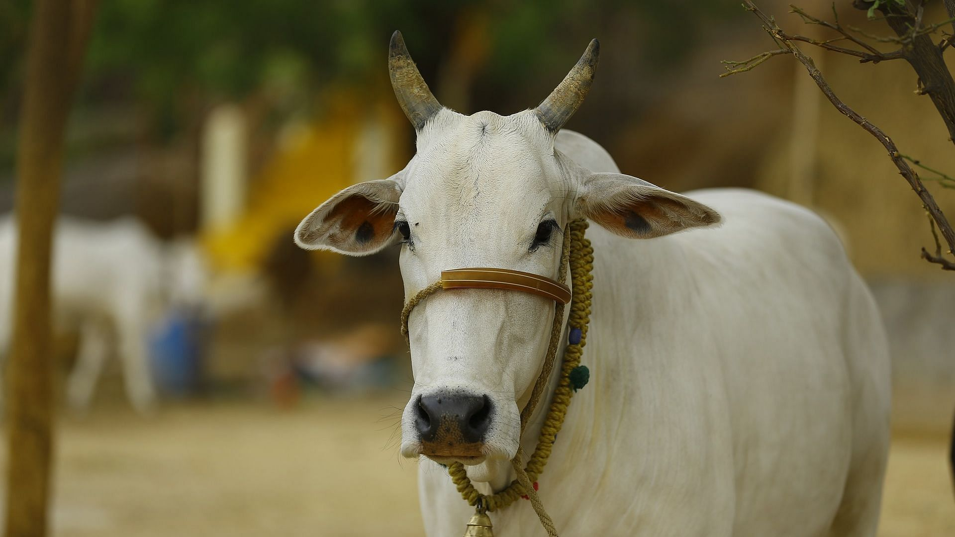 Assam News | Cow sale ban hits farmers hard in the state of Assam