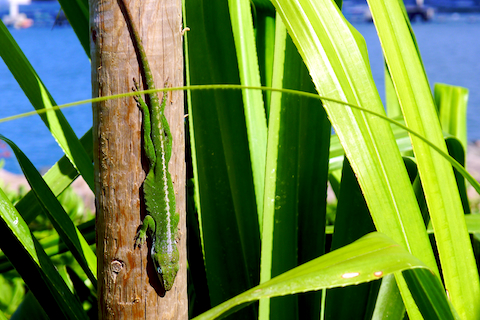 thereafterish, Hawaii Living, Pearl Harbor Tour, Oahu living, Hawaii sight seeing, Hawaii Lizard
