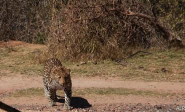 Leopard 0708 (11)