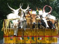 Cows on a truck, India 2009