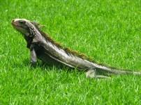 Green iguana, US Virgin Islands 2012