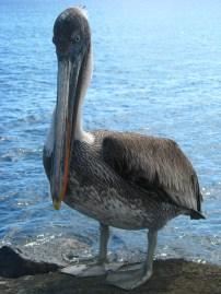 Pelican, Galapagos Islands 2010