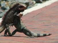 Iguana fight, US Virgin Islands 2012